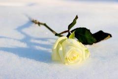 Rosa del blanco en una nieve fría del invierno Imagen de archivo