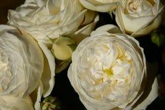 Rosa del blanco, floribunda fotos de archivo