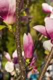 Rosa del brote de la magnolia Ã- Soulangeana Imagen de archivo