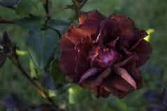 Rosa del carmesí en un jardín Imagenes de archivo