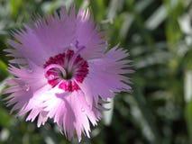 Rosa del clavel Fotografía de archivo libre de regalías