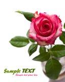 rosa del color de rosa aislada en el fondo blanco Foto de archivo libre de regalías