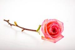 Rosa del color de rosa aislada en el fondo blanco Fotografía de archivo libre de regalías