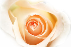 Rosa del color de rosa aislada en el fondo blanco Foto de archivo