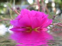 Rosa del color de rosa reflejada en agua Foto de archivo libre de regalías
