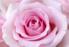 Rosa del rosa como fondo foto de archivo