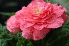 Rosa del rosa con descensos de rocío Foto de archivo