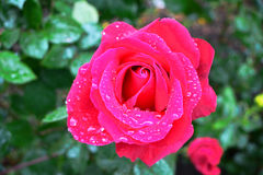 Rosa del rosa con descensos de rocío imagen de archivo libre de regalías
