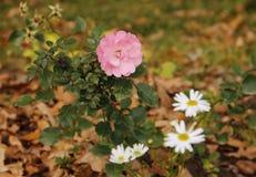 Rosa del rosa de la camelia y primer japoneses de la manzanilla foto de archivo