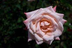 Rosa del rosa de la plena floración con el fondo verde Imagen de archivo libre de regalías