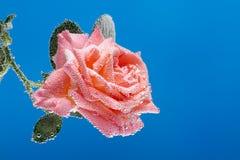 Rosa del rosa debajo del agua, cubierta con las burbujas de aire Foto de archivo libre de regalías