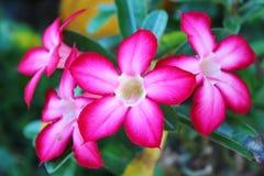 Rosa del deserto Immagini Stock Libere da Diritti