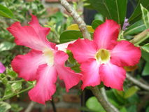 Rosa del deserto Fotografia Stock