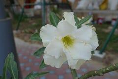 Rosa del deserto, giglio di impala, azalea falsa fotografie stock