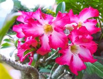 Rosa del deserto, giglio di impala, azalea falsa, fiori dell'azalea immagini stock libere da diritti