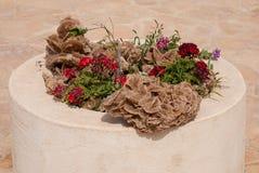 Rosa del deserto nell'aiola Fotografia Stock Libera da Diritti