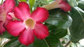 Rosa del deserto o adenio immagine stock libera da diritti