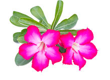 Rosa del deserto o Ping Bignonia Fotografia Stock Libera da Diritti