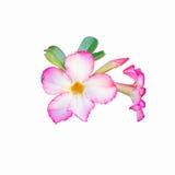 Rosa del deserto rosa su fondo bianco fotografia stock