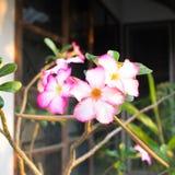 Rosa del deserto rosa sul ramo immagini stock