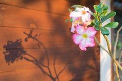 Rosa del deserto rosa sul ramo fotografia stock libera da diritti