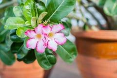 Rosa del deserto variegata Immagini Stock