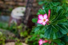 Rosa del deserto variegata Fotografia Stock