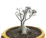 Rosa del deserto in vaso arancio isolato su fondo bianco Immagine Stock Libera da Diritti