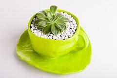 Rosa del desierto plantada en una taza verde Fotos de archivo