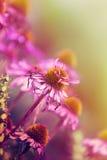 ¡ROSA del Echinacea! Fotos de archivo libres de regalías