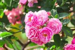 Rosa del rosa en árbol Fotografía de archivo libre de regalías