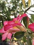 Rosa del fiore Immagine Stock Libera da Diritti