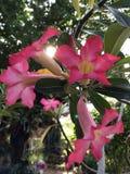Rosa del fiore Fotografie Stock