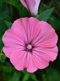 Rosa del fiore Fotografia Stock