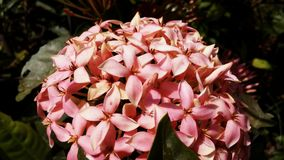 Rosa del fiore Immagini Stock Libere da Diritti