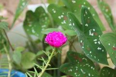 rosa del fiore dell'orologio di 10 ` o - un quel del fiore sviluppato alle 10 di mattina Fotografia Stock