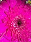 Rosa del fiore della gerbera fotografie stock libere da diritti