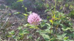 Rosa del fiore di erba medica Fotografie Stock