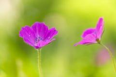 Rosa del geranio del campo Pequeñas flores rosadas en el prado Foco selectivo suave foto de archivo