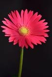 Rosa del Gerbera - opcional imagen de archivo libre de regalías
