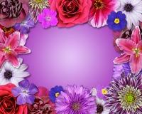 Rosa del marco de la flor, púrpura, flores rojas Imagenes de archivo