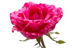 Rosa del marrón en un blanco imagenes de archivo