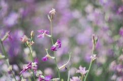 Rosa del Matthiola Orchidea selvatica Il concetto di giardinaggio, facente il giardinaggio, hobby, con le loro mani, crescenti fi Fotografia Stock