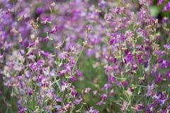 Rosa del Matthiola Orchidea selvatica Il concetto di giardinaggio, facente il giardinaggio, hobby, con le loro mani, crescenti fi Fotografie Stock Libere da Diritti