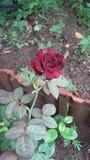 Rosa del nero e di rosso meravigliosa immagine stock