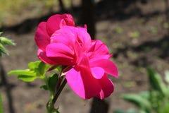 Rosa del Pelargonium Fotografía de archivo libre de regalías