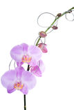 Rosa del phalaenopsis de la orquídea Imágenes de archivo libres de regalías