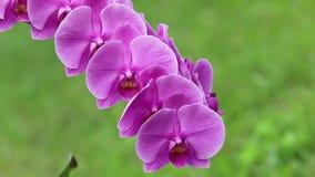 Rosa del phalaenopsis de la orquídea apacible metrajes