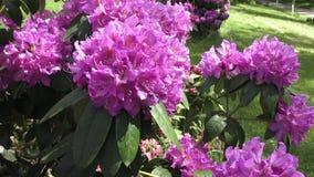 Rosa del rododendro archivi video