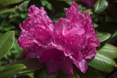 Rosa del rododendro, con los pétalos abigarrados, contra la perspectiva de las hojas verdes Imagen de archivo